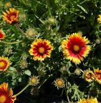 Korkadenblume Bremen - Gaillardia aristata