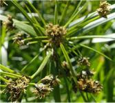 Gewöhnliche Teichsimse - Scirpus lacustris