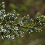 Teppichwacholder Holger 15-20cm - Juniperus squamata