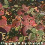 Wolliger Schneeball 100-125cm - Viburnum lantana