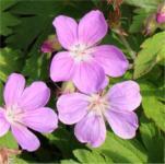 Waldstorchschnabel - Geranium sylvaticum