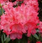 Rhododendron Morgenrot 25-30cm - Alpenrose