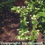 Gelbblütige Weigelie 40-60cm - Weigela middendorffiana