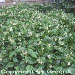 Kaukasus Beinwell - Symphytum grandiflorum