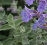 Himalaya Katzenminze Blue Dreams - Nepeta subsessilis