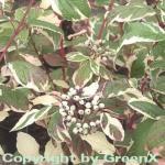 Weißbunter Sibirischer Hartriegel 60-80cm - Cornus alba
