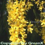 Forsythie Melee dOr 60-80cm - Forsythia