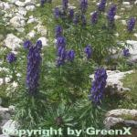 Eisenhut blau - Aconitum napellus