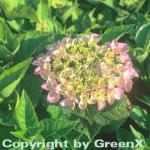 Bauernhortensie Messalina 30-40cm - Hydrangea macrophylla