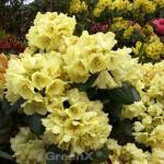 Rhododendron Millenium Gold® 20-25cm - Alpenrose