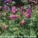 Balkanstorchschnabel Bevan - Geranium macrorrhizum