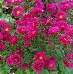 Glattblattaster Royal Ruby - Aster novi belgii