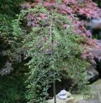 Hochstamm Zwergmispel Radicans 60-80cm - Cotoneaster dammeri