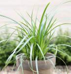 Teppich Japan Segge Irish Green - Carex foliosissima