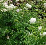 Weiße Akeleiblättrige Wiesenraute - Thalictrum aquilegifolium