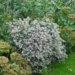 Waagerechte Herbst Aster Prince - Aster lateriflorus