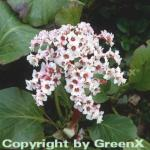 Bergenie Silberlicht - Bergenia cordifolia