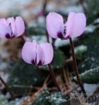 Herbst Alpenveilchen Mini Rosa - Cyclamen hederifolium