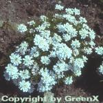 Schleifenblume Weißer Zwerg - Iberis sempervirens