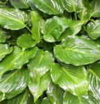 Grünblattfunkie Invincible - Hosta plantaginea