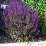 Ziersalbei Lubeca - Salvia nemorosa