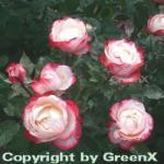Hochstamm Rose Nostalgie® 40-60cm