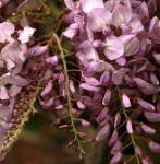 Blauregen Rosea 40-60cm - Wisteria floribunda