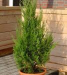 Wacholder Helle 100-125cm - Juniperus virginiana