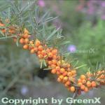 Sanddorn weiblich 60-80cm - Hippophae rhamnoides