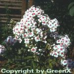 Hohe Flammenblume Sommerkleid - Phlox Paniculata