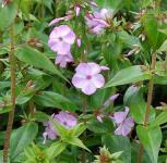 Wiesen Flammenblume Rosalinde - Phlox Maculata
