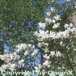 Tulpen Magnolie Alba Superba 40-60cm - Magnolia soulangiana