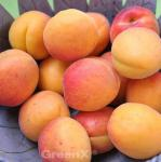 Aprikose Harcot 60-80cm - Prunus armeniaca