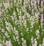 Echter Lavendel Rosea - Lavandula angustifolia