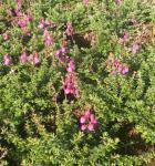 10x Schottische Heide William Buchanan - Daboecia cantabrica