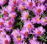 Sommeraster Sonora - Aster amellus