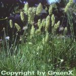 Schillergras - Koeleria glauca