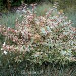 Buntblättrige Abelie Confetti 25-30cm - Abelia grandiflora