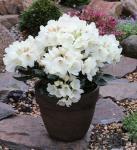 Rostblättrige Alpenrose Album 15-20cm - Rhododendron ferrugineum