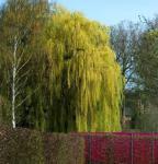 Trauerweide 100-125cm - Salix alba