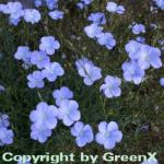 Lein blau - Linum perenne