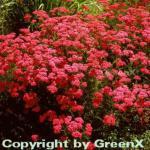 Schafgarbe Cerise Queen - Achillea millefolium