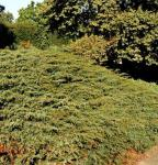 Kriechender Heidewacholder Hornibrook 40-50cm - Juniperus communis Hornibrookii
