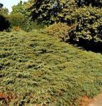 Kriechender Heidewacholder Hornibrook 50-60cm - Juniperus communis Hornibrookii