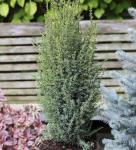 Säulen Wacholder Sentinel 40-50cm - Juniperus communis