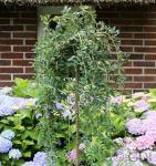 Hochstamm Hängener Erbsenstrauch 100-125cm - Caragana arborescens Pendula