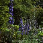 Herbsteisenhut Newry Blue - Aconitum carmichaelii