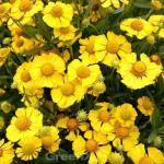 Sonnenbraut Sonnenwunder - Helenium cultorum