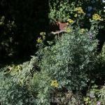 Weinraute Jackmans Blue - Ruta graveolens