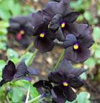 Hornveilchen Molly Sanderson - Viola cornuta